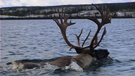 A male caribou swimming in a lake