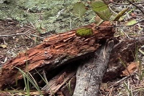 souche de bois sèche et pourrie