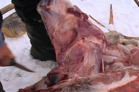 omoplate de caribou