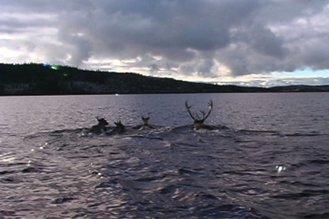The caribou cross a body of water