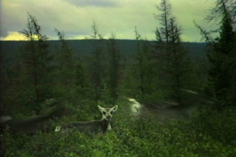 a caribou, less than a year old