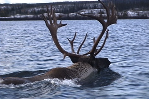 the caribou has big antlers