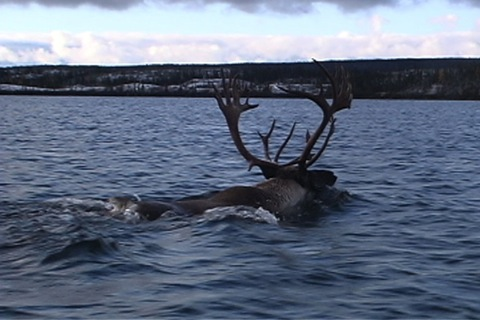 the caribou is swimming