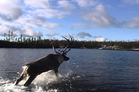 the caribou jumps into the water