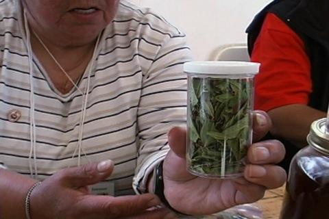 medicinal plant (sheep laurel)