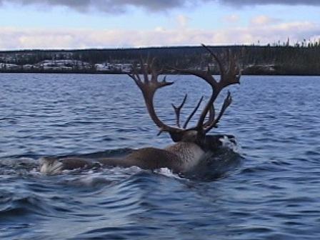 Un caribou à la nage traverse un lac