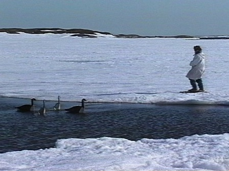 An Innu hunter on the ice sets out decoys to attract geese
