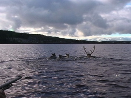Four caribou swimming in a lake, followed by hunters