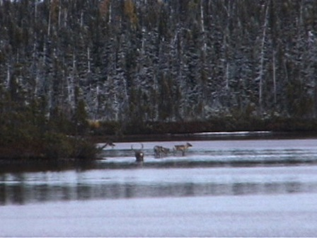 At the head of a lake, four caribou get ready to go into the water