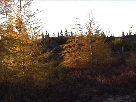 Panoramic view of a larch forest in its fall glory