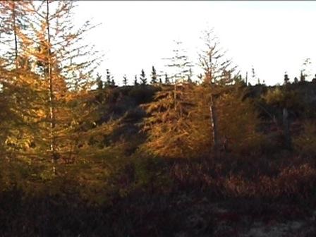 Panorama d'une forêt de mélèzes dans ses attributs d'automne