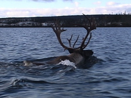 The lead caribou in the water, swimming across a lake