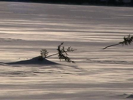 Petits arbres plantés dans la neige pour servir de repères