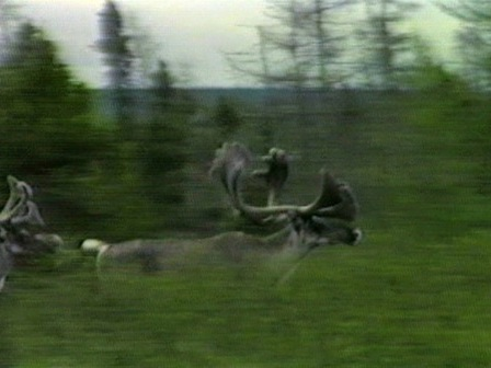 Caribou passage in the bush